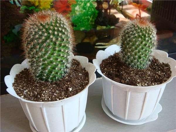 Вегетативное размножение кактуса черенками, детками, семенами