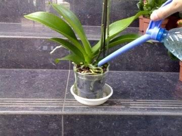Чем подкармливать орхидею фаленопсис, когда и как правильно вносить удобрения?