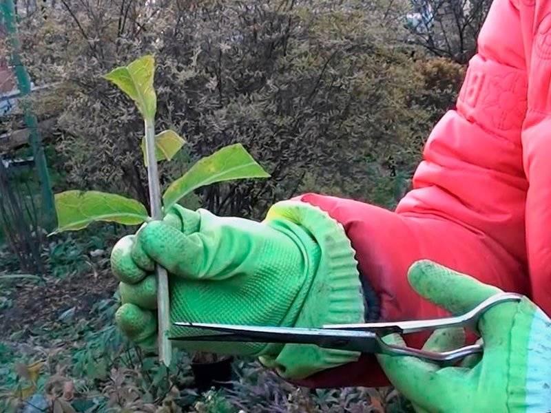 Размножение гортензии — все доступные способы получить новые кустики