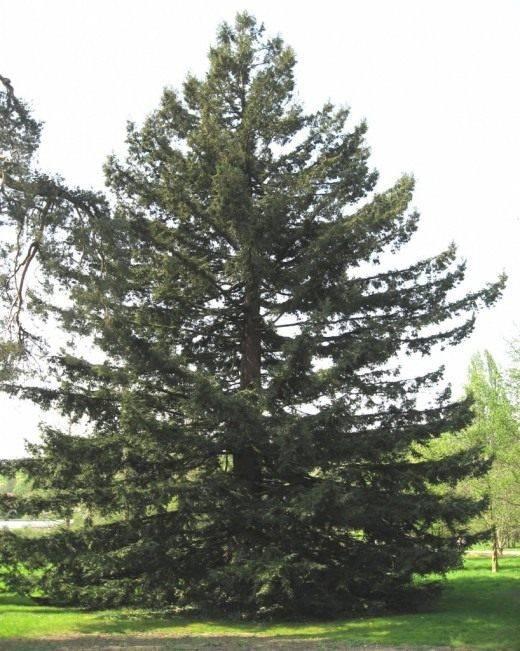 Секвойя вечнозеленая: описание, посадка и уход