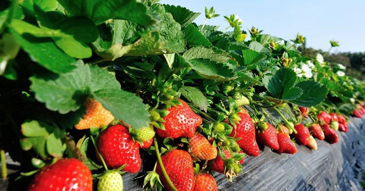 Клубника мальвина — крупноплодный и вкусный сорт с ягодами весом до 80 г