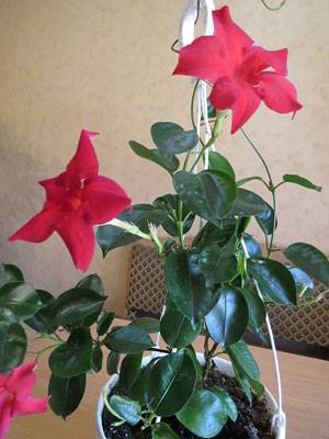 Комнатный цветок дипладения: фото, уход и размножение