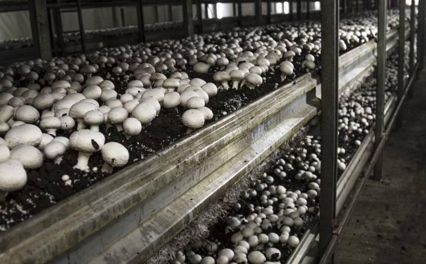 Выращивание шампиньонов в домашних условиях: технология