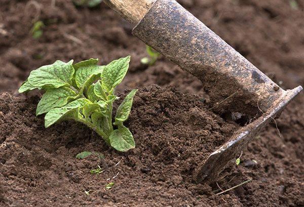 Полив картофеля в открытом грунте - основные правила, сроки и нормы