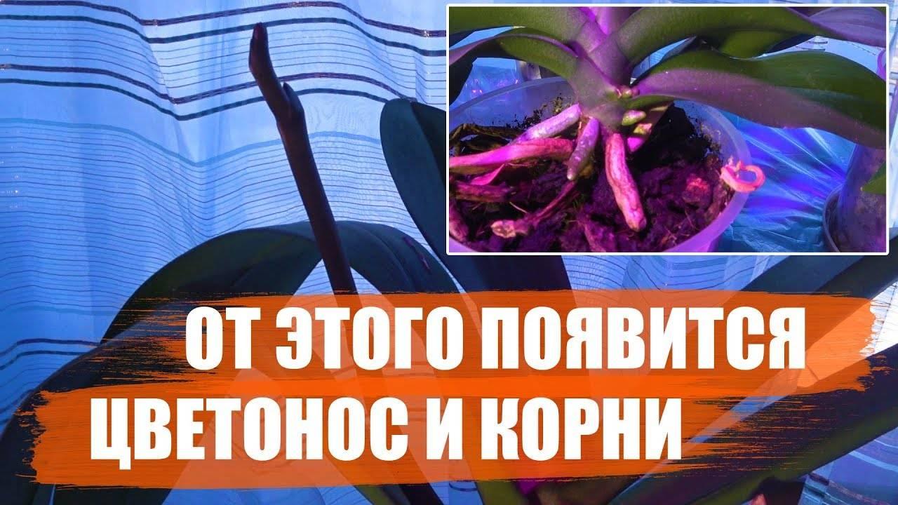 Советы цветоводам: чем подкормить орхидею? обзор лучших средств и способы их применения