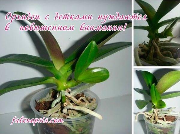 Пошаговая инструкция, как отсадить детку орхидеи фаленопсис