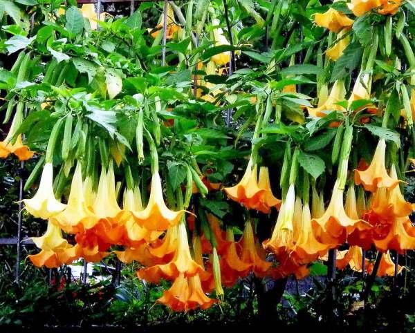 Бругмансия: посадка и уход за южным цветком в открытом грунте