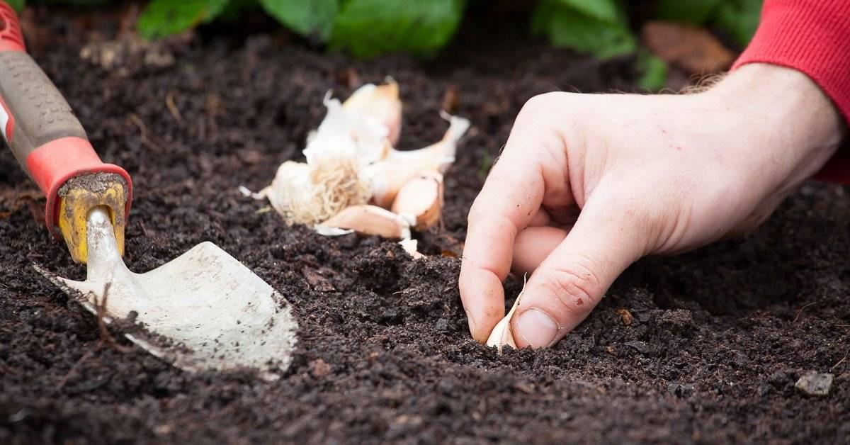 Удобрения для чеснока при посадке весной и осенью