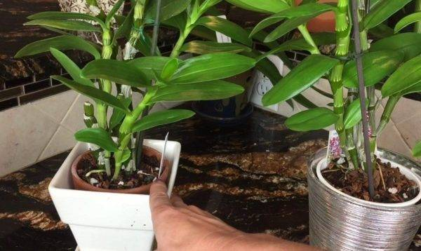 Дендробиум: выращивание в домашних условиях, виды