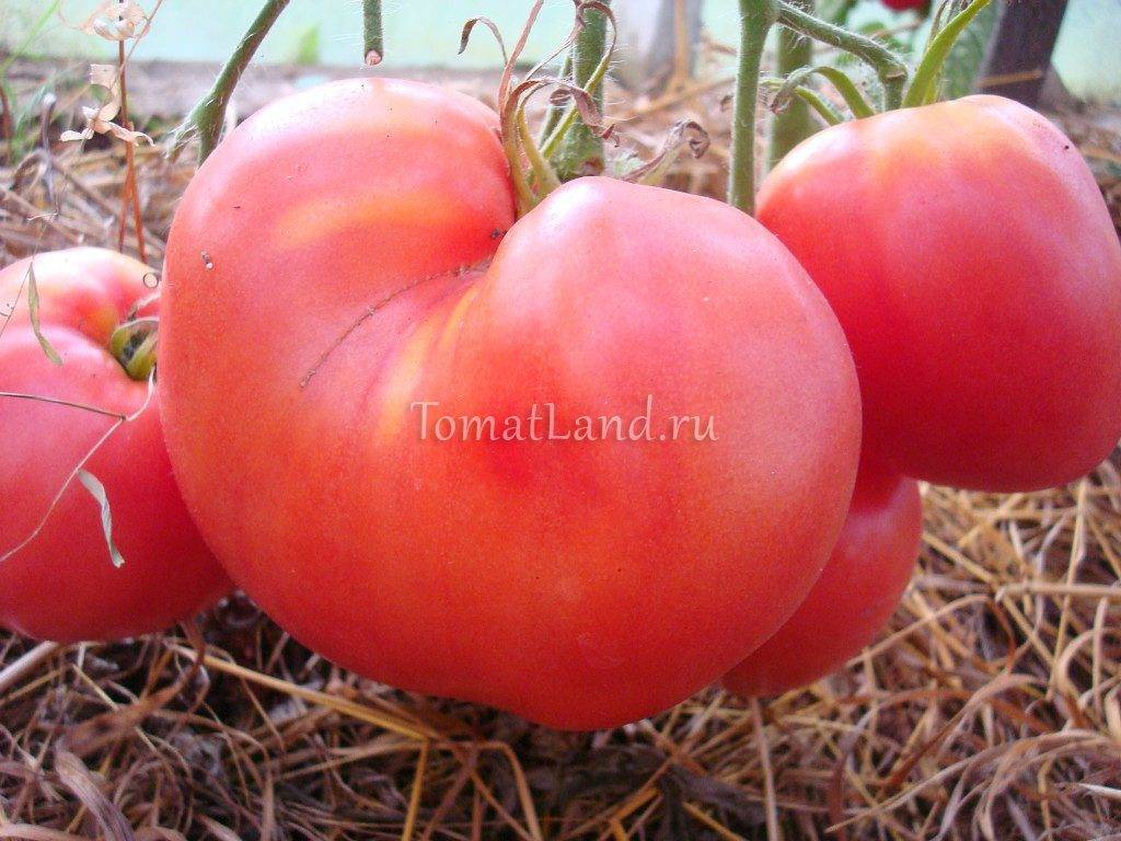 Выращиваем на грядке томат Батяня