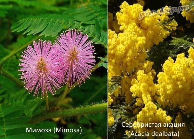 Акация серебристая в домашних условиях: выращивание и уход. семена акации серебристой