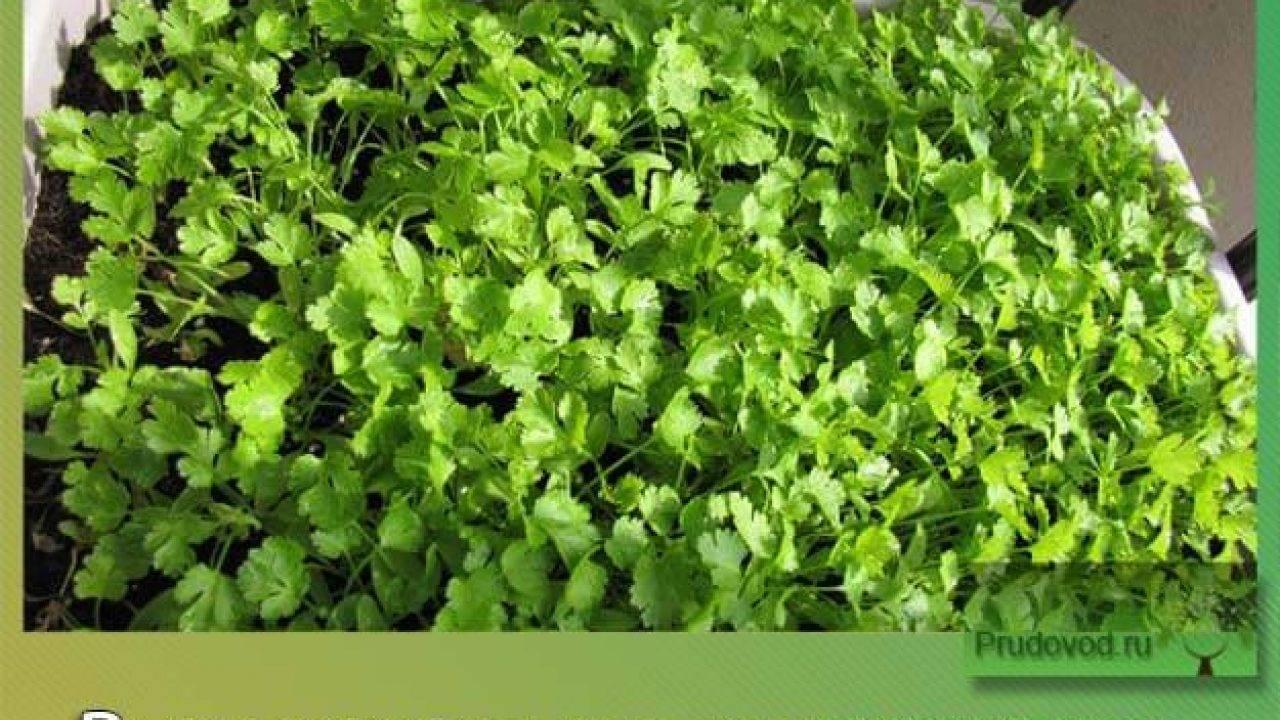 Когда сеять кориандр на рассаду. отзывы и комментарии. выращивание кинзы из семян в открытом грунте
