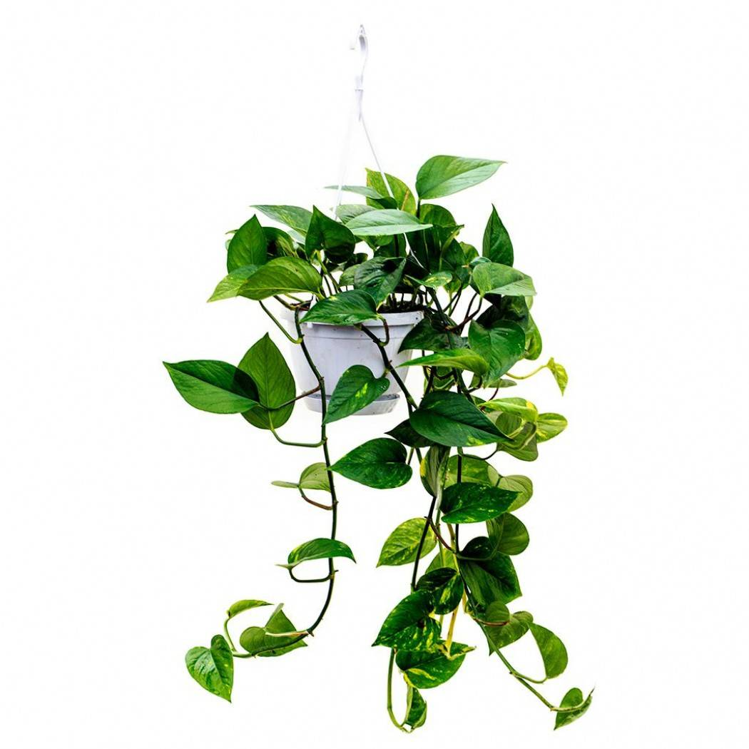 Сциндапсусы — декоративные лианы и уход в домашних условиях