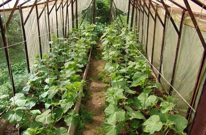 Выращивание огурцов в теплице – советы специалистов для высокого урожая