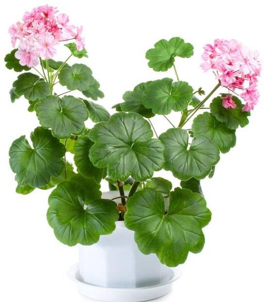 Подкормка герани для цветения йодом и перекисью