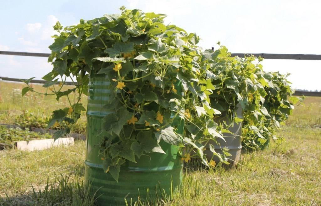 Технология выращивание огурцов в бочке на даче пошагово