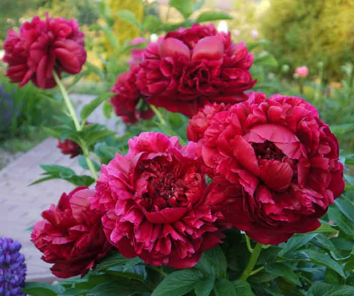 Клумбы из многолетников своими руками – оформляем красивый цветник
