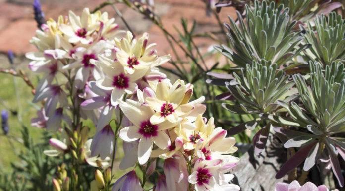 Иксия: выращивание и уход в открытом грунте