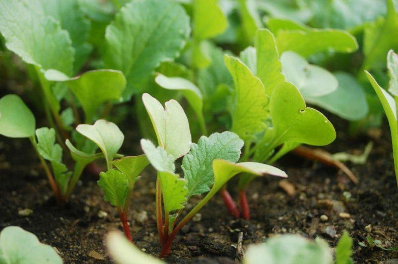 Как вырастить редис летом – полгода непрерывного урожая