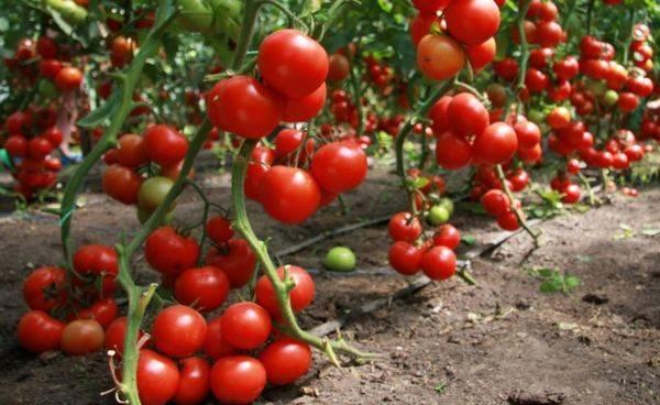 Самые урожайные и лучшие сорта томата для открытого грунта