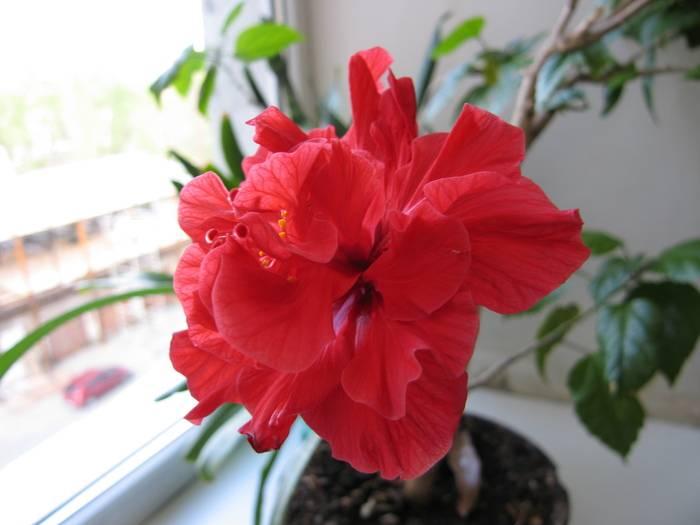 Цветение гибискуса — результат правильного ухода