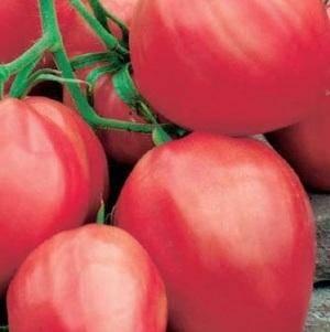 Выращивание душицы на дачном участке – стоящее занятие