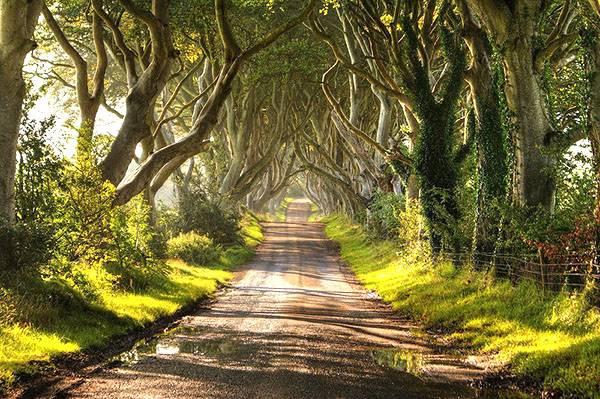 Секвойя дерево где растет. величественное дерево секвойя покоряет всех своей помпезностью