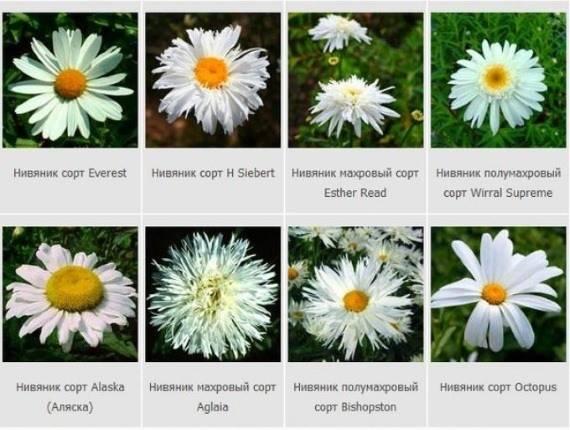 Ромашка садовая (нивяник): особенности посадки и ухода в открытом грунте