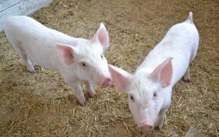 Все что нужно знать о комбикорме для свиней
