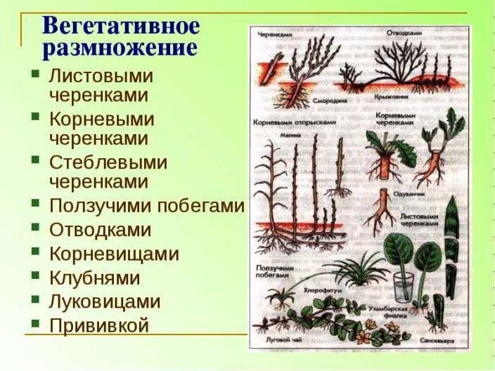 Правила размножения кактусов с пошаговыми инструкциями