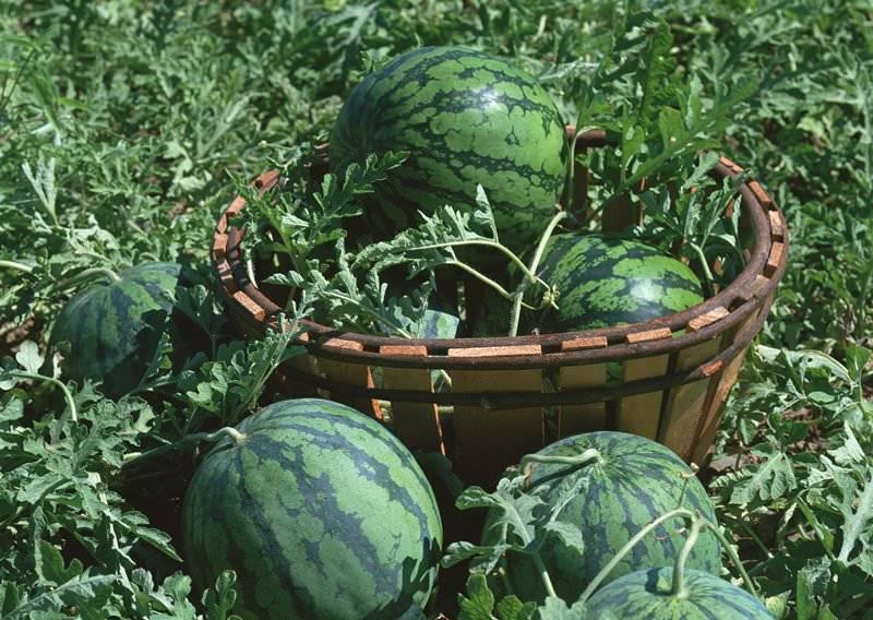 Арбуз в средней полосе: как самостоятельно вырастить вкусную ягоду