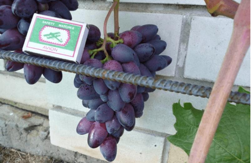 Самые лучшие столовые сорта винограда