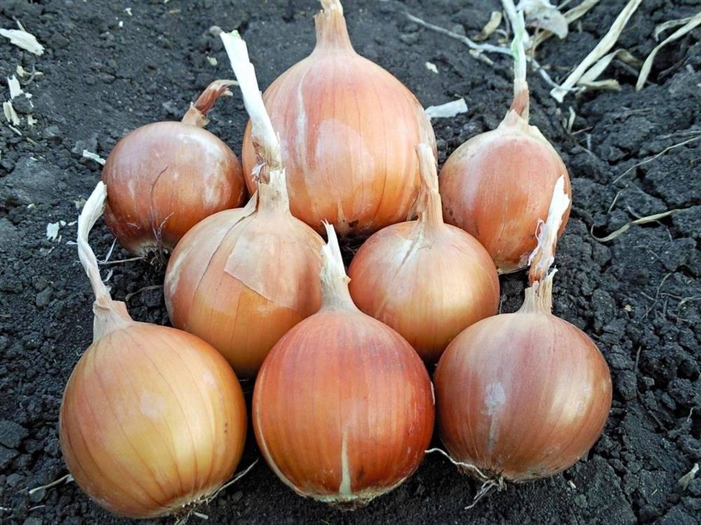 Луковая шелуха для огорода – природный антисептик-бактерицид и подкормка