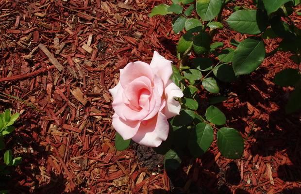 Уход и удобрения для роз