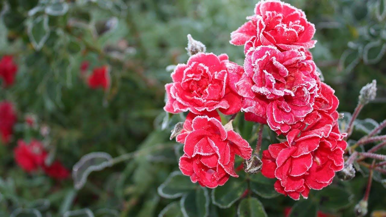 Секреты пересадки роз на даче