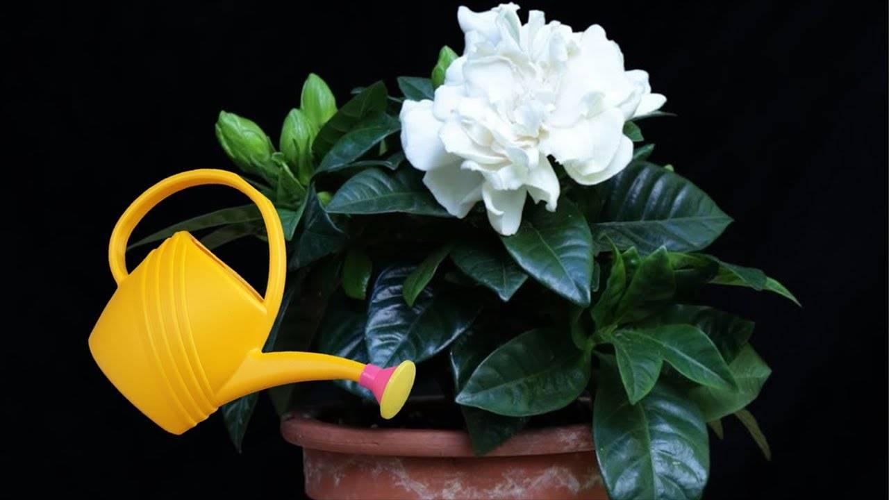 Цветок гардения: уход в домашних условиях