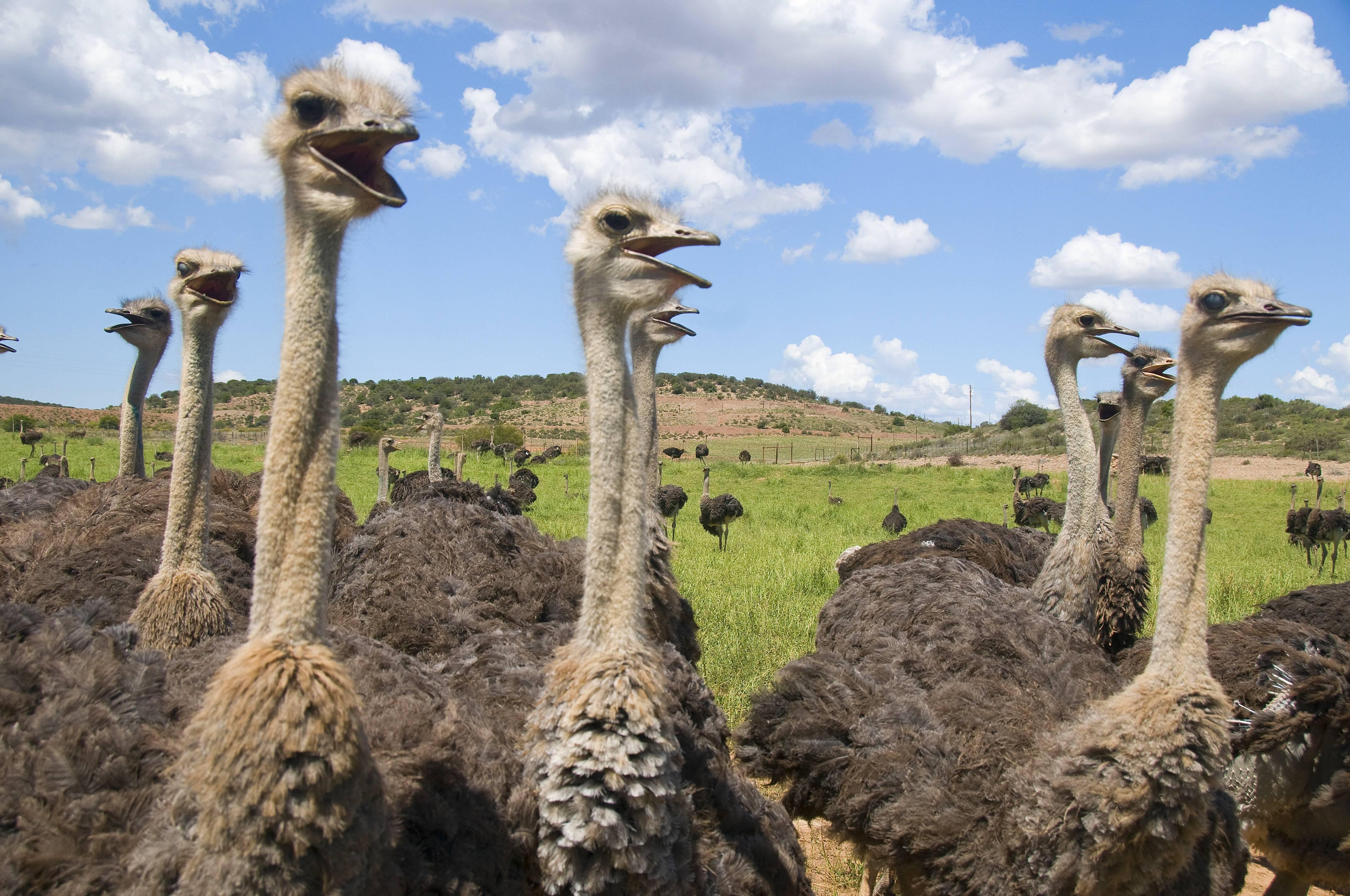Содержание страусов дома - как за ними ухаживать