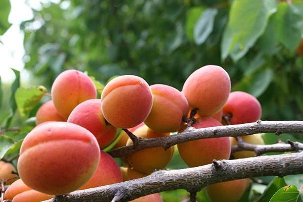 Фрукты жердела и абрикос: в чем разница между ними?