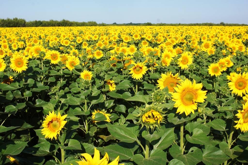 Посев подсолнечника – оптимальные сроки, норма высева, глубина заделки семян и способы посадки