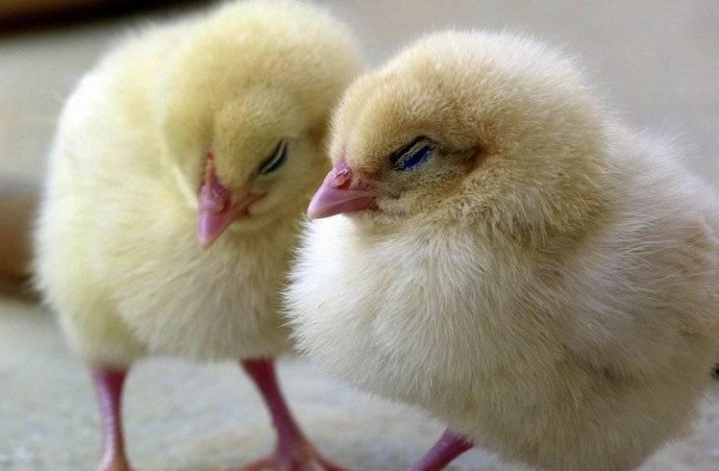 Симптомы и лечение распространённых болезней цыплят бройлеров