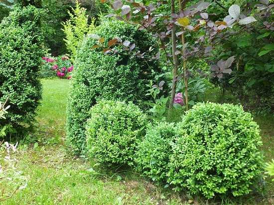 Выращивание самшита на садовом участке