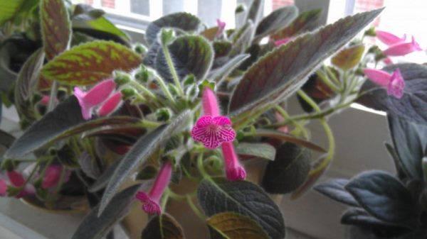 Цветок колерия уход в домашних условиях формирование кроны размножение и пересадка фото