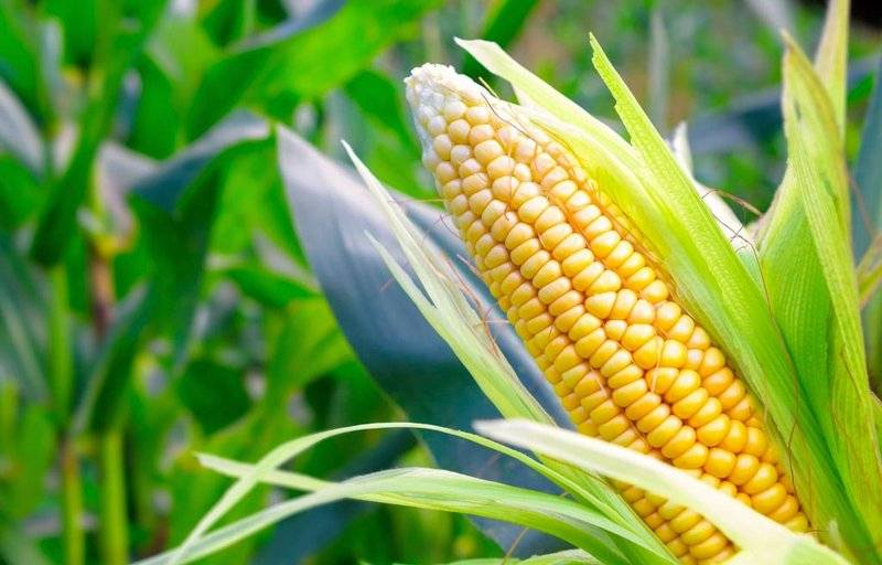 Удобрения для кукурузы при выращивании