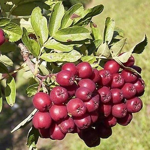 Как размножается черноплодная рябина: способы размножения с описаниями