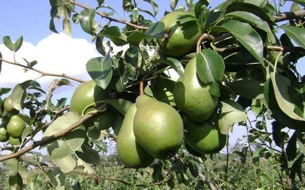 """Выращивание груши сорта """"просто мария"""""""