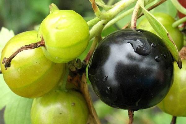Йошта: польза и применение гибридного растения
