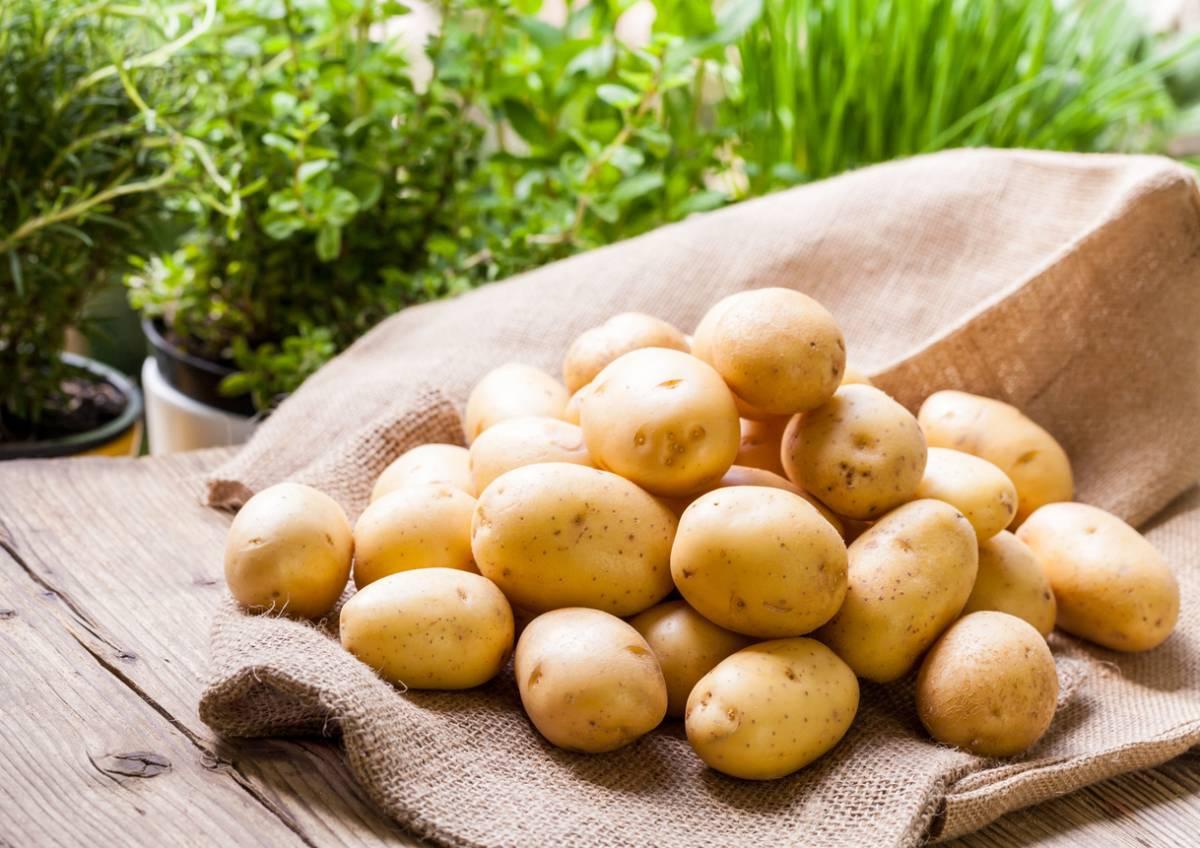 Что влияет на созревание и когда копать картошку