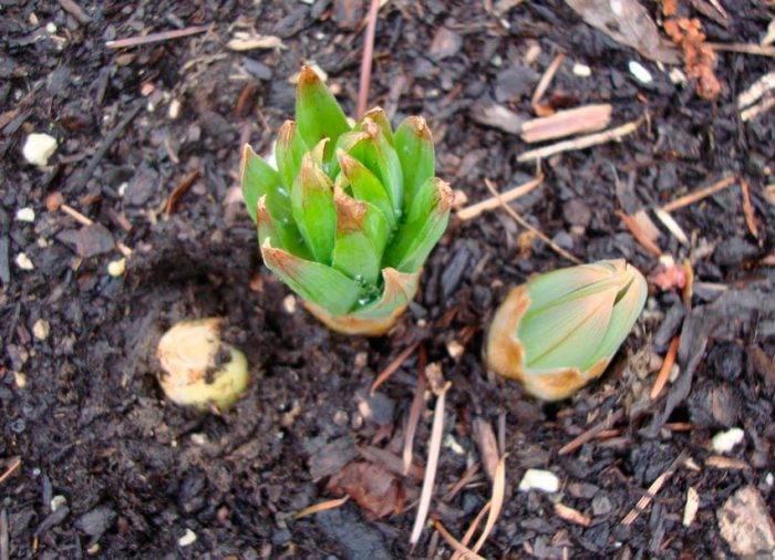 Хризантемы однолетние: описание сортов, посадка и уход, выращивание из семян