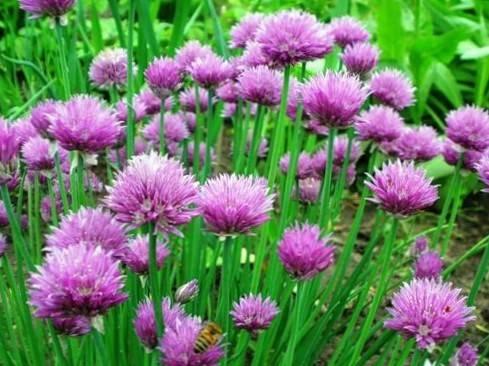 Лук шнитт выращивание из семян на рассаду посадка и уход в открытом грунте шнитт лук фото описание
