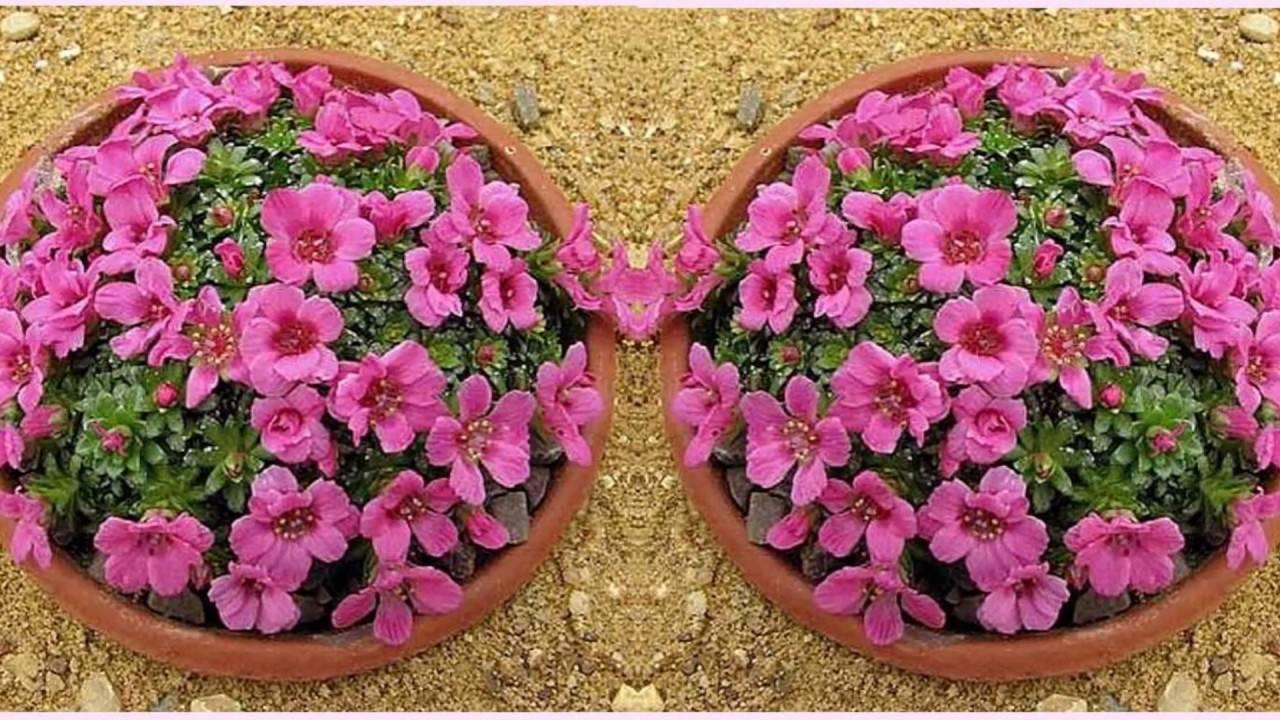 Популярные разновидности цветка камнеломка — описание